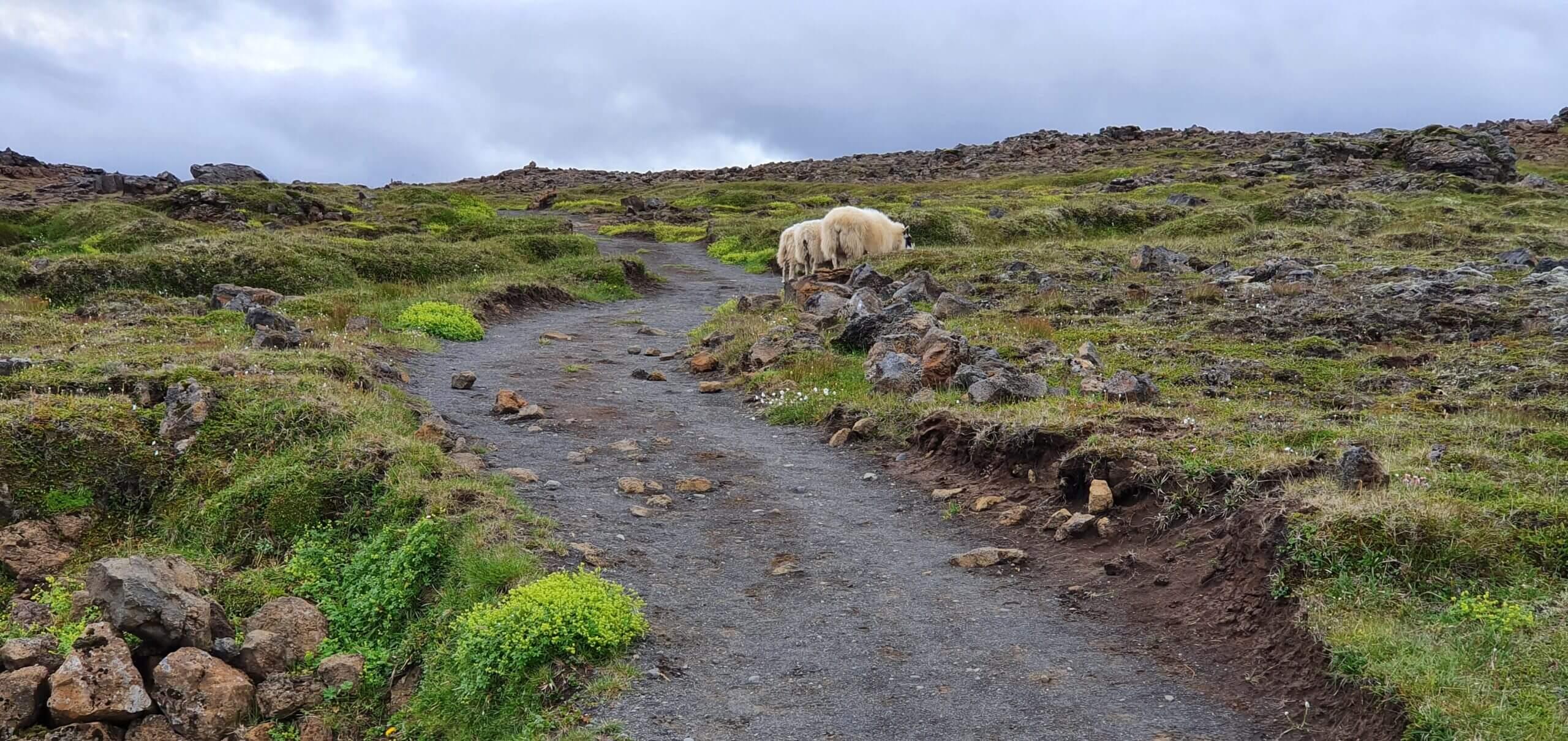 hveravellir trail sheep