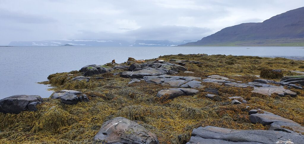 seal lookout westfjords